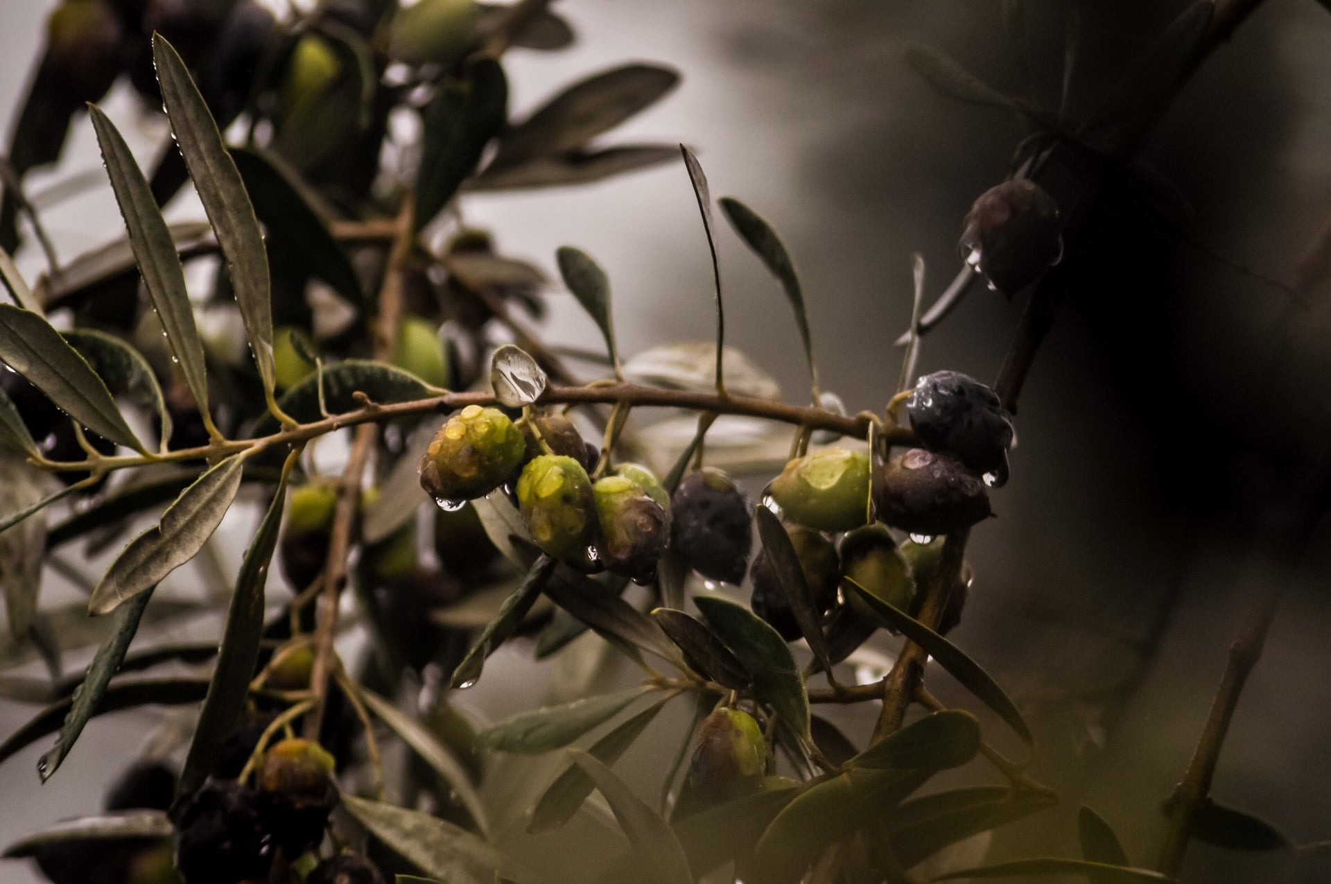 Olive oil nutrients and health benefits