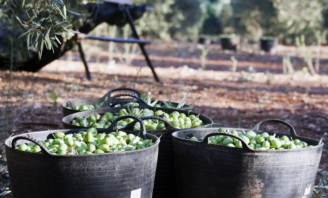 The step-by-step process of traditional olive oil making